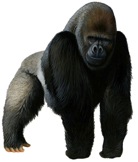 Western gorilla Chimpanzee Clip art - others png download